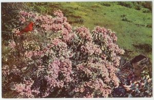 Postcard. A Brilliant cardinal flashes through Virginia laurel. Waynesboro Oct 17, 1965